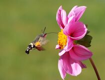 Moth Hovering by a Pink Zinnia Royalty Free Stock Photos