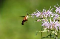 Moth III. A Hummingbird moth (Macroglossum) using a wildflower for in flight refueling Stock Photos