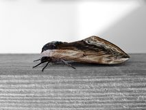 Moth insect on wood Royalty Free Stock Photography