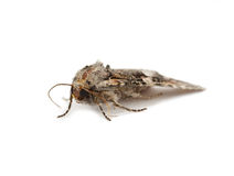 Moth isolated Royalty Free Stock Photo