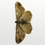 Moth isolated Royalty Free Stock Images