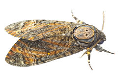 Moth isolated on white Royalty Free Stock Photos