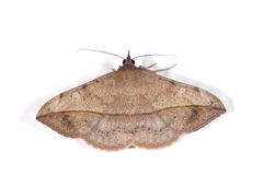 Moth. A moth with its wings unfolded, isolated over white stock image