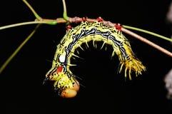 Moth Larva Stock Photo