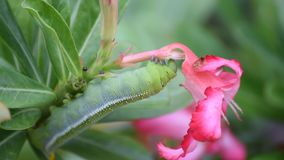 Moth larvae or Caterpillars eat Mock Azalea flower stock video