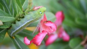 Moth larvae or caterpillars eat mock azalea flower. Moth larvae or Caterpillars green color eat Mock Azalea Desert Rose, Impala Lily flower, Naturally beautiful stock video