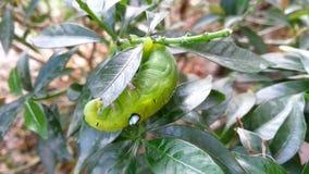 Moth larvae stock footage