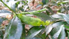Moth larvae stock video