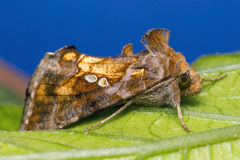 Moth on leaf Stock Photography
