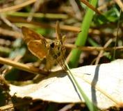 Moth on a leaf Stock Images