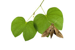 Moth on leaves Stock Photography