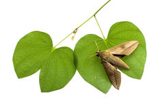 Moth on leaves on white background. Royalty Free Stock Photo