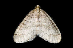 Moth (lepidoptera) Stock Images