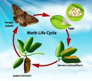 A moth life cycle stock illustration