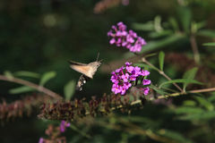 Moth and lilac Stock Images