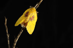 Moth on  little branch Royalty Free Stock Photography