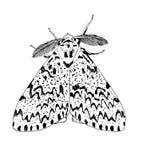 Moth- Lymantria Stock Image