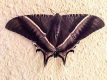 Moth. Lyssa zampa moth royalty free stock photography