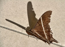 Moth. Lyssa zampa (swallowtail) moth on the ground with nice fabric like wing textures stock photo