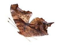Moth, Lytrosis Stock Image