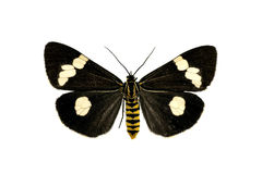 Moth, Magpie, Nyctemera secundiana Royalty Free Stock Photo