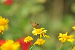 Moth and marigold Royalty Free Stock Photos