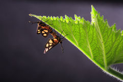Moth mating. On a leaf Royalty Free Stock Photo