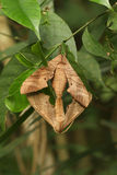Moth mating. Brown moth mating on green tree Royalty Free Stock Photography
