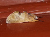 Moth mimicry Hemiceras sp. Costa Rica Stock Photos
