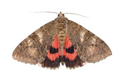 Moth, minsmere crimson underwing, catocala coniuncta , isolated on white Royalty Free Stock Image