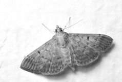 Moth In Monochrome Royalty Free Stock Images