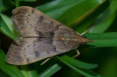 Moth. Moth Uresiphita polygonalis. Viera y Clavijo Botanic Garden. Tafira. Las Palmas de Gran Canaria. Gran Canaria. Canary Islands. Spain Royalty Free Stock Photo