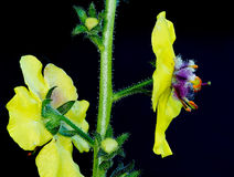Moth Mullein Royalty Free Stock Photos
