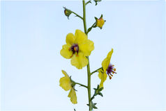 Moth Mullein Royalty Free Stock Images