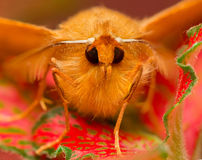 Moth Royalty Free Stock Photo