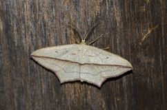 Moth at night. Royalty Free Stock Photography