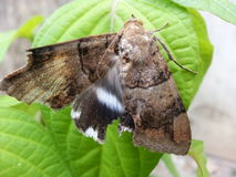 The Moth Royalty Free Stock Photography