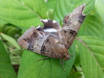 The Moth Royalty Free Stock Photo
