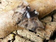 The Moth Stock Photo