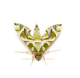 Moth night butterfly Stock Images