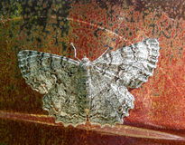 Moth on oil drum. White moth stands out in contrast on black and rust metal background Stock Images