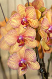 Moth orchid. The close-up of yellow moth orchid with pink stripe stock photography