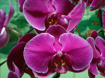 Moth orchid. Chinese people put the moth orchid in the house to celebrate the coming new year Stock Photography