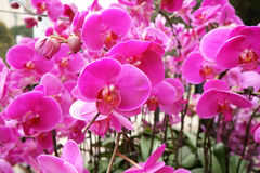 Moth orchid flower Stock Images