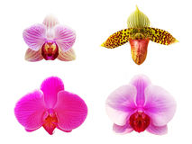 Moth orchid and lady slipper orchid flowers Royalty Free Stock Photos