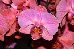 Moth orchid peach cultivar, Phalaenopsis. Popular ornamental herb with strap shaped leaves and moth shaped peach colored flowers with mauve markings, orange royalty free stock photo