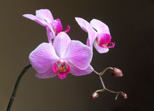Moth Orchid (Phalaenopsis) flower Stock Photos