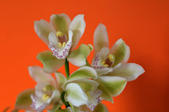 Moth Orchid - Phalaenopsis flower Stock Photo