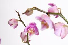 Moth Orchid (Phalaenopsis orchidaceae) Stock Photo