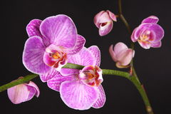 Moth Orchid (Phalaenopsis orchidaceae) Royalty Free Stock Images